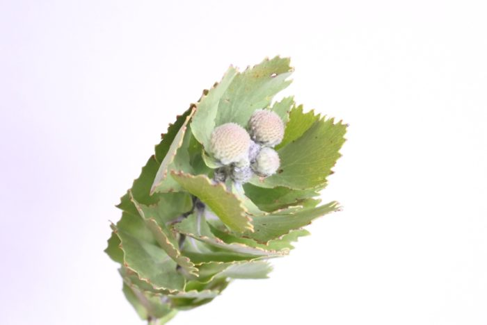 学名…Leucospermum  別名…レウコスペルマム  科、属名…ヤマモガシ科、レウコスペルマム属  分類…常緑低木  原産地…南アフリカ  花色…黄、オレンジ、赤  属名はギリシャ語の「Leukos=白い」と「spermum=種子」を合わせた言葉です。  ピンクッション(針刺し)の名の通り、通常は針刺しに針が刺さっているような見た目ですが、今回使用したものは花部分が小さい種類です。