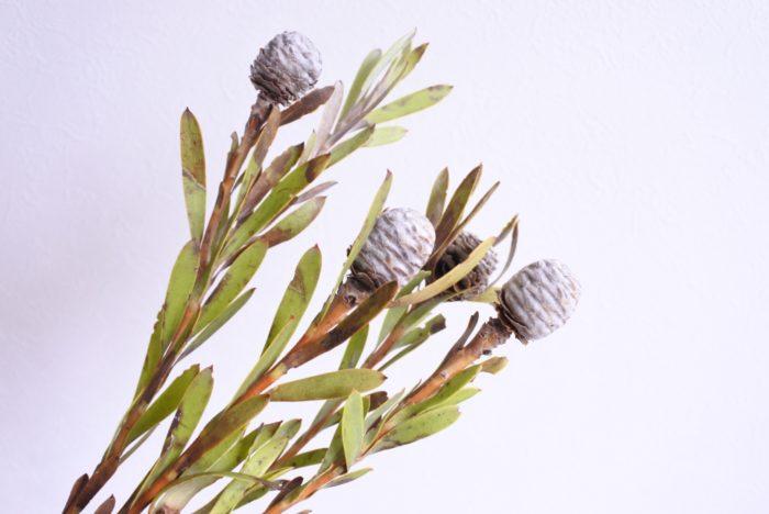 メリディアム  くすんだ黄緑の細長い葉と、実のように見える大きな花部が特徴です。