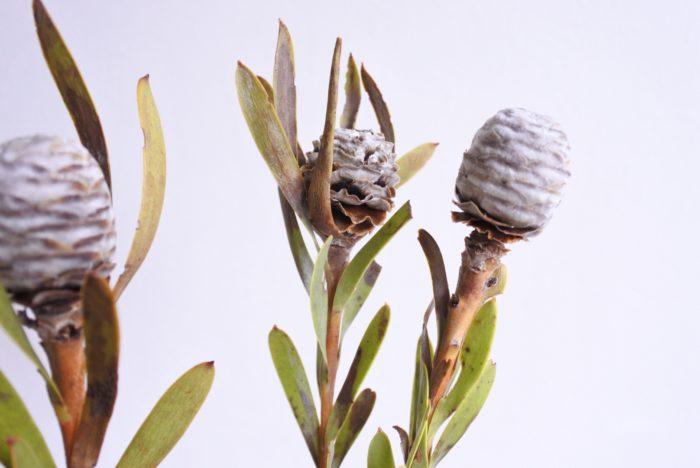 花部はドライになるにつれて下から徐々に開き、松ぼっくりのような形になります。