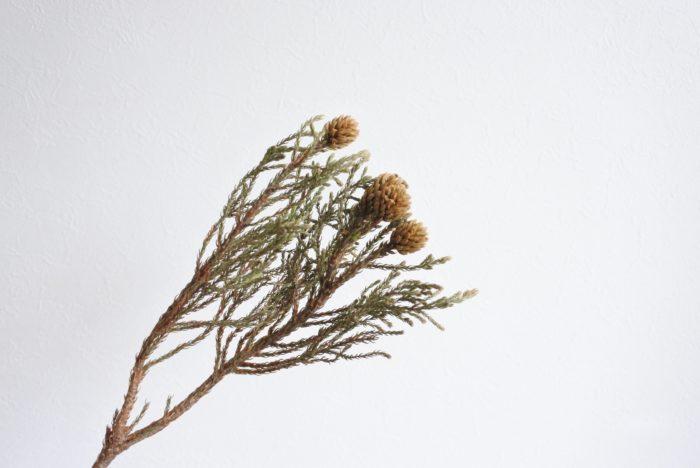 学名…Berzelia lanuginosa  科、属名…ブルニア科、バーゼリア属  分類…常緑低木  原産地…南アフリカ  花言葉…「まごころ」  葉も頭もチクチクした印象ですね。杉のような見た目ですが、南アフリカ原産の低木です。