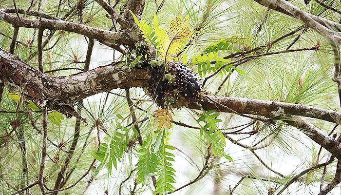 地上から20mほどの高い松の木に着生しているレカノプテリス・バルゴイー