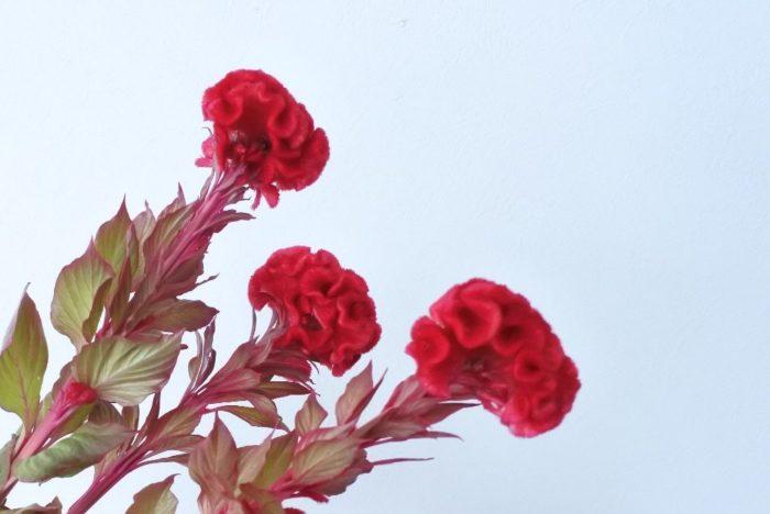 トサカ状の花が折り重なって球状になる種類です。漢字では久留米鶏頭と書き、九州の久留米地方に由来すると言われています。ケイトウらしいはっきりした明るい色に加えて、近年ではニュアンスカラーのものも増えてきました。