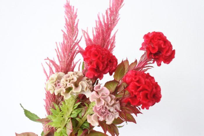 学名…Celosia argentea  別名…セロシア、英名「Cockscomb」  科、属名…ヒユ科、ケイトウ属(セロシア属)  分類…草花/一年草  原産地…アジア、アフリカ、アメリカの熱帯域  開花期…7月~11月頃  花色… 黄、オレンジ、赤、ピンクなど  花言葉…「おしゃれ」「風変わり」  「Celosia(セロシア)」という学名は、ギリシャ語の「keleos(燃やした)」が語源です。炎のような鮮やかな花色がもとになっています。「ケイトウ」と言う和名は漢字で「鶏頭」と書き、字の通りニワトリのトサカに似ていることからつけられました。英名の「cookscomb」も同じくニワトリのトサカという意味で、トサカに見えるのは世界共通だとわかりますね。  日本には奈良時代に中国を経由して伝わり、「韓藍(からあい)」という名前で万葉集にも詠まれています。1200年以上も前から親しまれている花なんですね。