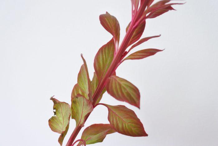 今回用意したケイトウは葉や茎まで赤みがあり、緑からのグラデーションが美しかったです。着色したものではないのにこのような色になるなんてすごいですね。