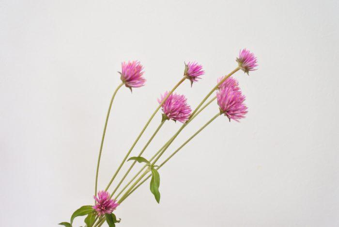 センニチコウ1…ファイヤーワークスという名前の、苞(ほう=花弁のような部分)が長いタイプです。センニチコウもケイトウと同じヒユ科です。