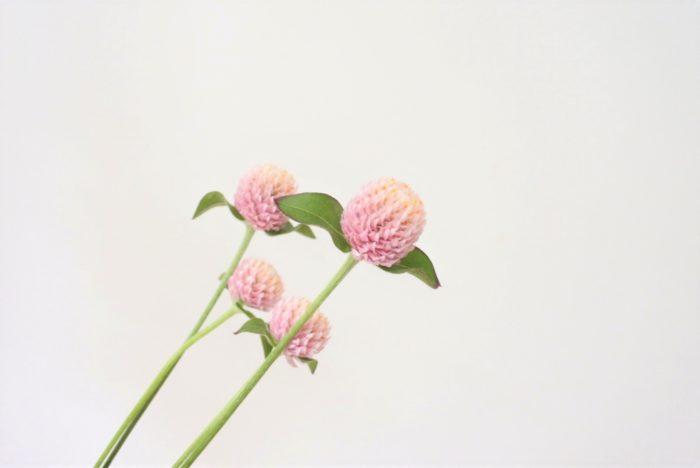 千日紅(センニチコウ)は白、淡いピンク~濃いピンク、紫がかったピンクなど発色の良い色の種類が豊富です。淡いピンクはそれだけで小瓶に生けてもかわいらしいですね。濃いピンクや紫がかったものはアクセントに使うと効果的です。