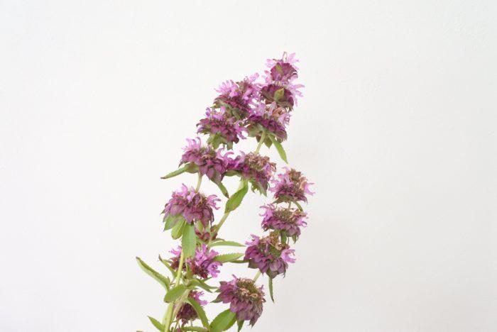 モナルダ…縦に長く連なって花が咲くので手前に入れると華やかさが加わります。個性的な咲き方もポイントになりますね。