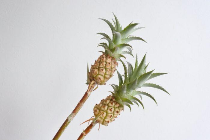 ミニパイナップルとは? 学名…Ananas nanus  別名…アナナス、花パイン  科、属名…パイナップル科、アナナス属  分類… 多年草  原産地…熱帯アメリカ  開花期…7~8月  花色…紫  花言葉…「完全無欠」「あなたは完全」  「パイナップル=pineapple」 という名前は、「松 =pine」 の「果実(リンゴ)=apple」で、「松かさ(松ぼっくり)」を指すものでしたが、18世紀ごろに見た目が似ている現在のパイナップルに使用されるようになり、今に至ります。