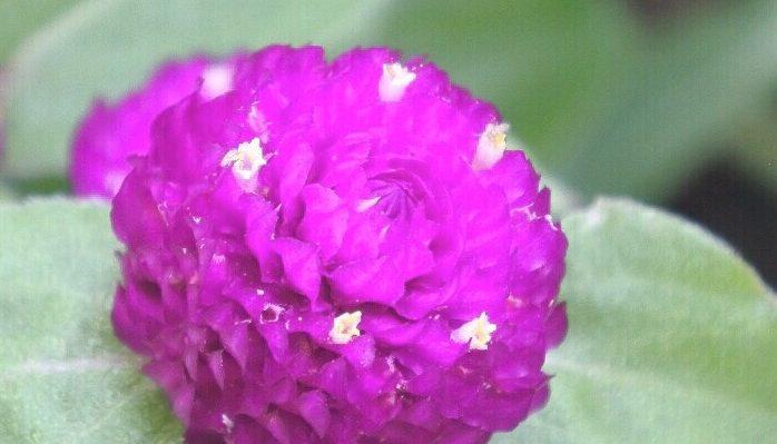 花弁のように見えるピンクの部分は苞(ほう)で、白~クリーム色の小さい点のように見えるものが花です。
