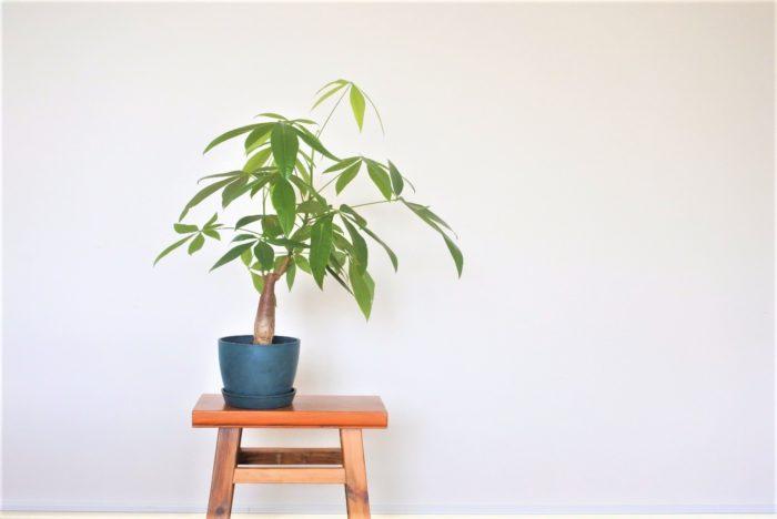 パキラは中南米原産のアオイ科の植物です。高さ10センチほどの小さいものから大人の身長以上もある大きいものまで様々なサイズが出回っているので、デスクや棚の上などの小さなスペースからリビングのシンボルツリーになど、置き場や用途に合った大きさを選ぶ事ができます。葉と葉の隙間から光を通すので、ナチュラルやシンプルな明るい部屋に合います。また、幹の色が暗めで太くゴツゴツして見えるものもあるので、そのようなパキラは男前テイストの部屋に置いてもいいですね。