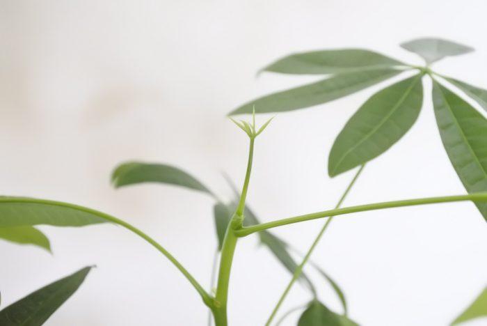 """春から夏の暖かい時期には次々と新芽を出して育つので、成長を見守るのも楽しい観葉植物のひとつですよ。  耐陰性はありますが、暗めの部屋だと徒長(とちょう=間延び)しやすく、葉が大きくなりすぎたり色が薄くなってしまうので、窓辺などの明るい場所に置きましょう。  ▼徒長(とちょう)とは?  <div class=""""posttype-post shortcode""""><div id=""""posts"""" class=""""default-posts""""><article><a href=""""https://lovegreen.net/succulents/p30700/"""" class=""""clickable""""></a>     <div class=""""thumbnail"""" style=""""background-image:url(https://lovegreen.net/wp-content/uploads/2016/04/tocyo.jpg);"""">         <a href=""""https://lovegreen.net/succulents/p30700/""""></a>   </div>   <div class=""""top-post-ttl-extext"""">     <h2><a href=""""https://lovegreen.net/succulents/p30700/"""">植物のヒョロっとした姿「徒長(とちょう)」とは?</a></h2>     <p><a href=""""https://lovegreen.net/succulents/p30700/"""">植物を育てていると耳にすることがある徒長(とちょう)、どういうことかいまいちよく分からないという方も多いので…</a></p>     <p class=""""top-post-name"""">LOVEGREEN編集部</p>     <time class=""""top-post-date"""" datetime=""""2019-12-01"""">2019.12.01</time>     <span class=""""post-cat""""><a href=""""https://lovegreen.net/succulents/"""">多肉植物・サボテン</a></span>  </div> </article></div></div>  ▼パキラが徒長してしまったら  <div class=""""posttype-post shortcode""""><div id=""""posts"""" class=""""default-posts""""><article><a href=""""https://lovegreen.net/plants/p48236/"""" class=""""clickable""""></a>     <div class=""""thumbnail"""" style=""""background-image:url(https://lovegreen.net/wp-content/uploads/2016/08/f6c48f3309d9543873a7ef0f59c26dd1.jpg);"""">         <a href=""""https://lovegreen.net/plants/p48236/""""></a>   </div>   <div class=""""top-post-ttl-extext"""">     <h2><a href=""""https://lovegreen.net/plants/p48236/"""">パキラの剪定した枝を挿し木して増やす方法</a></h2>     <p><a href=""""https://lovegreen.net/plants/p48236/"""">パキラの剪定をする際に知っておきたい「生長点」という言葉。間違えるとしばらく新芽が出てこないなんてことも…。…</a></p>     <p class=""""top-post-name"""">LOVEGREEN編集部</p>     <time class=""""top-post-date"""" datetime=""""2020-01-10"""">2020.01.10</time>     <span class=""""post-cat""""><a href=""""https://lovegreen.net/plants/"""">観葉植物</a></span>  </div> </article></div></div>  ▼パキラの詳しい管理方法はこちら(植物図鑑)  <div class=""""posttype-library shortcode""""><div id=""""postMain"""" class=""""full""""><article class=""""library-list-tax""""><a href=""""https://lovegreen.ne"""