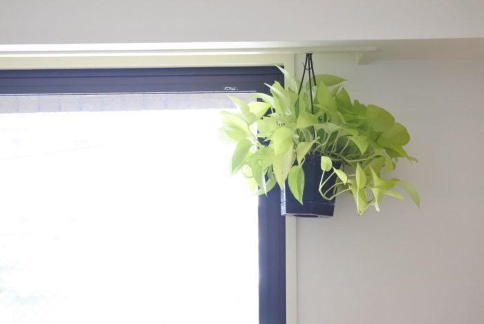 ポトスは窓際に吊るして飾ると、ツルが長くなるにつれてグリーンカーテンのような雰囲気になるのでおすすめです。窓際はポトスにとってもちょうどいい明るさですが、日が強すぎて葉焼けを起こしてしまう場合は移動させましょう。