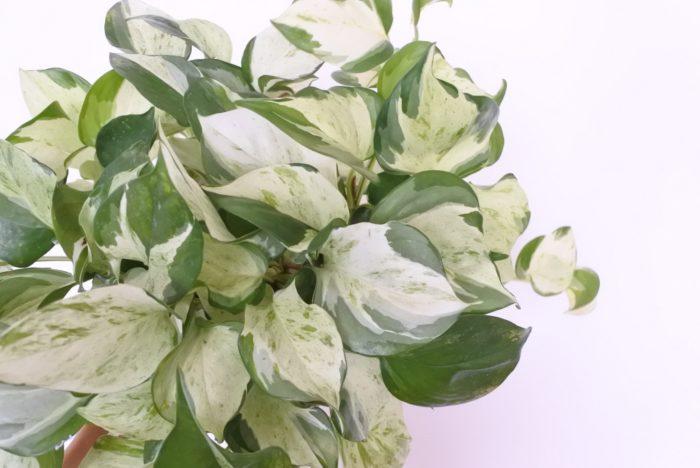 ポトスの葉は明るい色から個性的な斑入りのものまで様々な種類があるので、リビングのテイストに合わせて選べます。一つの株の中でも、葉の一枚一枚斑の入り方が違うのもポトスの魅力の一つですね。