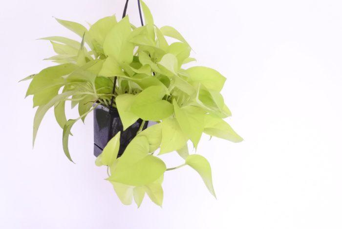 ポトスは東南アジアの熱帯雨林地帯などが原産のサトイモ科の植物です。つる性なので上から垂らす飾り方がおすすめですが、支柱などを立てて巻き付けて育てることもできます。