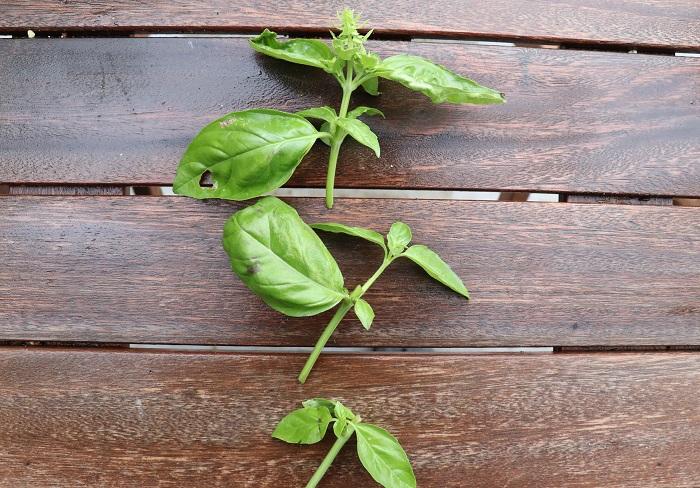 先端の弱い部分を避け、下の2本の茎を挿し穂にします。