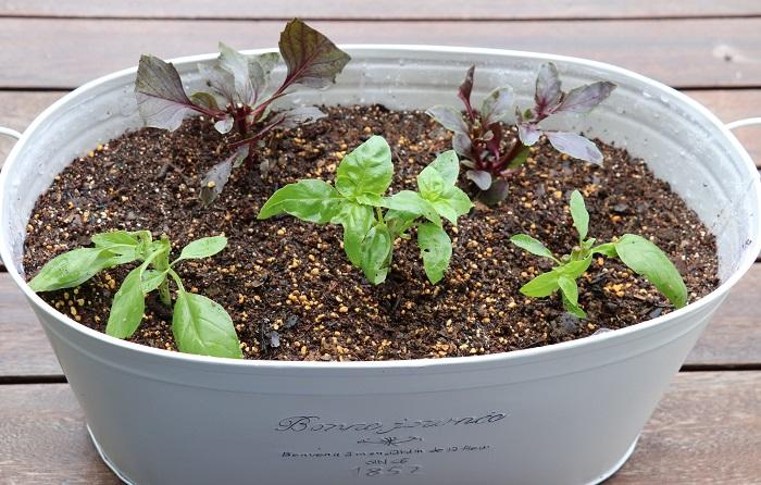 あらかじめたっぷり水をかけておいた挿し床に、指で土に穴をあけて挿し穂を1本ずつ挿します。葉が隣の挿し穂と重ならないようにします。挿し穂がぐらつかないように、まわりの土を軽くおさえます。(割り箸を使って挿し穴をつくると、手が汚れず便利です。)  土に穴をあけずにそのままバジルの茎を挿すと、茎が折れたり茎の切り口に負担をかけて弱らせてしまいます。挿し穴をつくってからバジルの茎を挿すことをおすすめします。  挿し終わったら、再度十分に水をあげます。