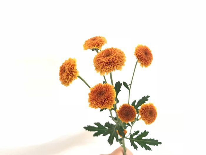 スプレーマム。小菊も現在はこのように可愛らしい形も多く、花持ちも良い為、仏花としてだけではなく、夏に普段飾る花としてもおすすめです。