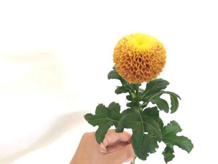 輪菊の種類ですが、ピンポンマム、またはポンポン菊などと呼ばれているまん丸の形が可愛い菊です。このピンポンマムは黄色から段々とオレンジ色にグラデーションで色を変えて行く種類です。ピンポンマムは他にも、グリーン、黄色、ピンク、えんじ色などがあります。まずは黄色の花は今回はピンポンマムを使いたいと思います。