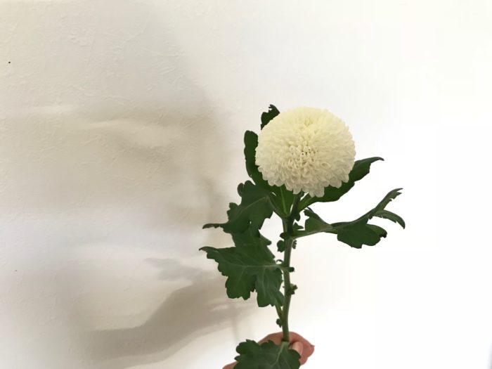 白い花はピンポンマムの白。