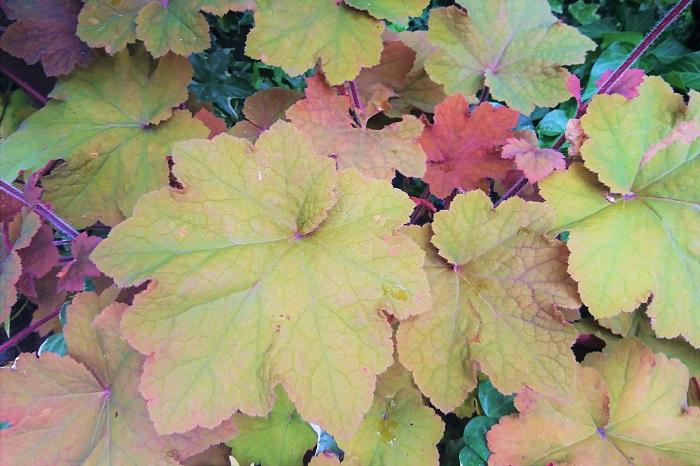 ヒューケラは耐陰性が強く、常緑で、カラーバリエーションも豊富。暗くなりがちなシェードガーデンの救世主のような植物です。  その葉の形も独特で、角を取った柔らかな楓のような形をしています。色は、グリーン、パープル、オレンジやシルバー、黒、と非常に多様です。  春には真直ぐに伸びた茎の先にちいさなお花をふわふわと咲かせます。花期が長く、初夏まで花を咲かせて楽しませてくれます。