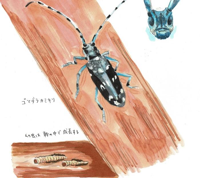 ゴマダラカミキリ。白い斑点があります。触角はシマシマです。脚や触覚の一部分が青みがかっていて美しい。
