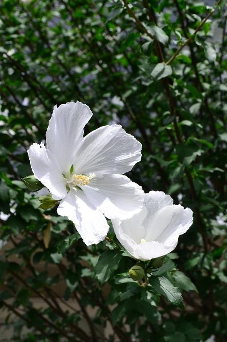 ムクゲは6月から秋まで大輪の花を次から次へと開花させるアオイ科の落葉低木で、昔から庭木や生け垣として植栽されています。暑さが厳しい時期でもたくさんの花を咲かせるので、日本の夏の花の代表のひとつです。似たような花にフヨウがありますが、一番簡単な見分け方は葉っぱです。ムクゲの葉っぱは小さめで細めの葉をしていますが、フヨウの葉は、掌を広げたような形で大きめです。花はとても似ていますが、葉っぱは全く違うので見分けやすいでしょう。その他の違いとしては、花の咲き始めがムクゲは梅雨のころから開花しますが、フヨウの花は早くても7月下旬ころ、盛りは8月以降の真夏の花です。