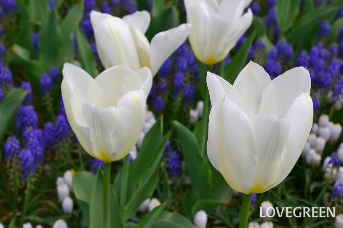 白色のチューリップの花言葉は「失われた愛」。