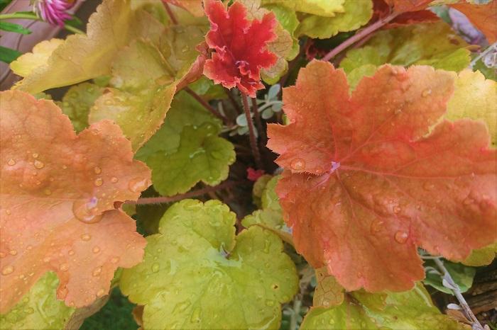 耐陰性が強く半日陰から木洩れ日が当たる程度の日陰まで、元気に育ちます。葉を横に広げてこんもりと茂るので、「色の塊」のような茂みになり、庭の景色を作るのに役立ちます。  夏の間は少し葉を減らすようなこともありますが、元気がなくなったわけではありません。耐寒性もあり、冬の間も姿を消しません。  育てやすい植物ですが、強健とまでは言えず、グレコマやヒメイワダレソウなどの繁殖力の強い植物に負けてしまいがちです。植えるときは、周りの植物にも配慮してあげた方が良さそうです。