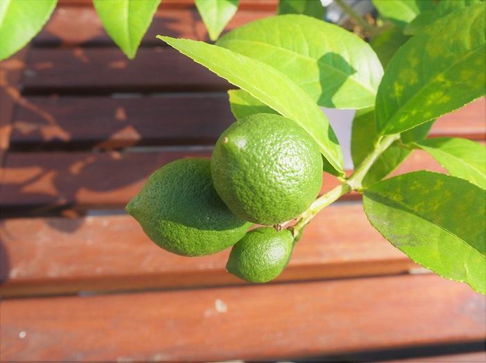学名:Citrus limon  英名:lemon  別名:citron(フランス語)、limone(イタリア語)、檸檬(れもん 日本語)  科名:ミカン科ミカン属  分類:常緑低木  レモンは春から秋までの間に何回か花を咲かせます。収穫期は寒くなってから。グリーンのレモンを楽しみたい場合は10月~11月くらいに収穫しましょう。黄色く熟してからの果実を楽しみたいのであれば、12月頃まで待って、きれいに熟したレモンを楽しんでください。