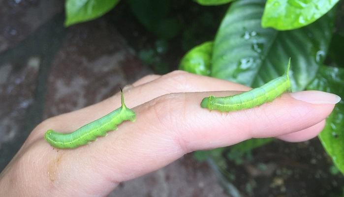 オオスカシバ幼虫。おしりに尾角(ビカク)というツノのようなものがあります。