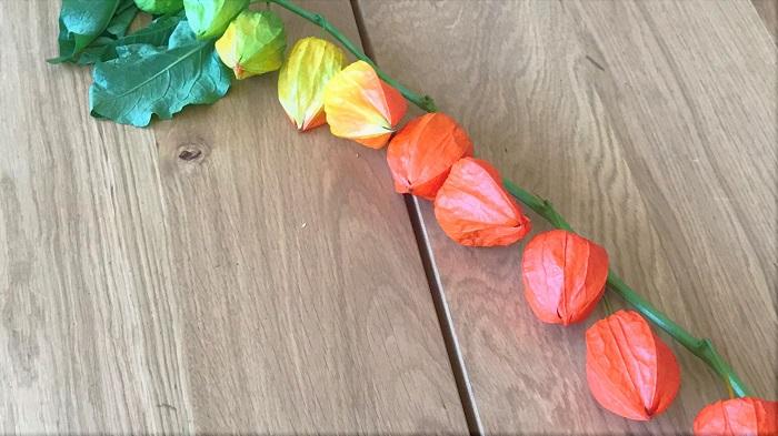 学名:Physalis alkekengi  科名:ナス科ホオズキ属  分類:多年草  鬼灯(ほおずき)は、特徴的な実が可愛らしいナス科の多年草です。この提灯のように見えるものはガクで、中にミニトマトに似た実が入っています。鬼灯(ほおずき)もトマトもナス科ですから、見た目が似ているのも納得です。  鬼灯(ほおずき)は、水に浸けておくとガクの組織が腐って溶け、葉脈だけがきれいに残る特性があります。この鬼灯(ほおずき)の特性を活かして、可愛い透かしほおずきを作ってみましょう。