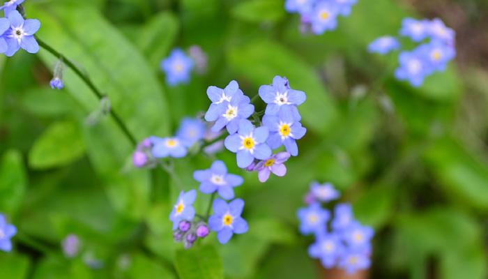 勿忘草(ワスレナグサ)はムラサキ科の一年草、こぼれ種でどんどん増える強い植物です。原産地では、多年草として分類されますが、暑さと過湿を嫌うので夏越しできないことから、日本では1年草として分類されています。  ひとつひとつの花は米粒サイズの小さな花ですが、4月~6月、無数にブルーの小花が開花している光景はとても素敵です。最近は、ブルーの他、ピンクや白の忘れな草もあります。また、花丈も高性のものが出てきて、切り花としても出回りがあります。  1株で植えてもかわいらしい勿忘草ですが、まとめて植栽すると開花時は地面一面がブルーの花畑になり、見事な光景になります。