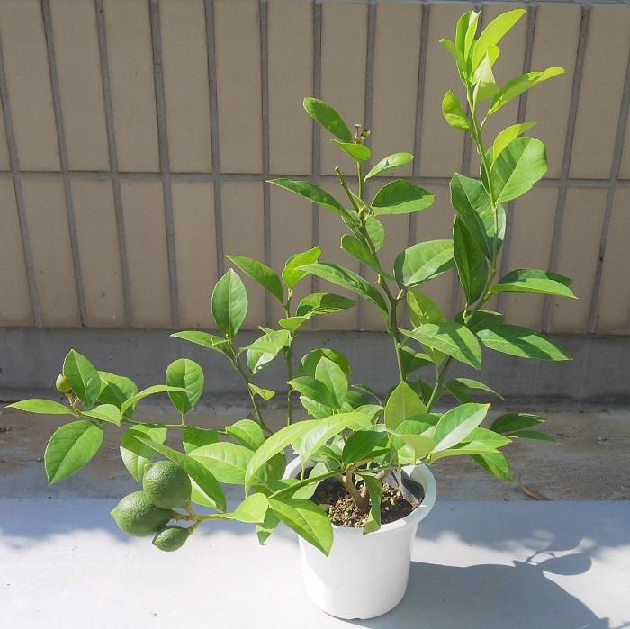 レモンの木がLOVEGREEN編集部にやってきたのは、2018年7月のとある暑い夏の日。レモンの木のサイズを記録して、生長の過程を観察していきます。  レモンの木のサイズ(2018年7月31日現在) ・5号鉢(Φ15㎝)  ・全体のサイズ:高さ580mm×幅510mm  ・実の数:3コ(サイズ大2コ 約40mm、小1コ 約25mm)  まだグリーンの実が付いています。小さいけど、立派にレモンの形をしています。この小さな苗木の生長を育てながら観察していきます。