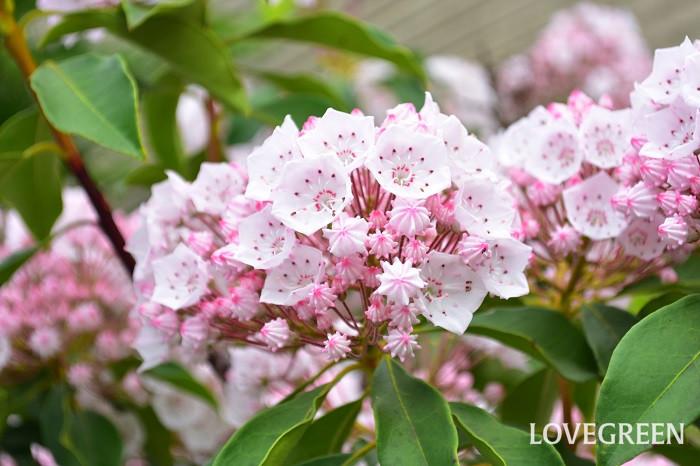 カルミアの特徴と言えば、その花。  花のつぼみは金平糖やチョコレート菓子のアポロチョコにも似ていて、まるでお菓子みたいな表情をしています。なんとも特徴的なつぼみがはじけて五角形の花が開花します。