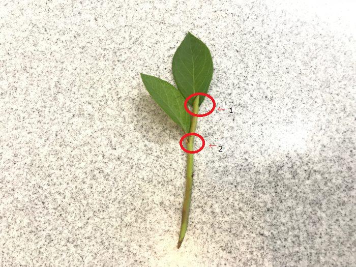 挿し芽をする場合は、赤丸の付いている1節目と2節目が土の上に出る様に茎を2㎝~3㎝土の中に差し込みます。