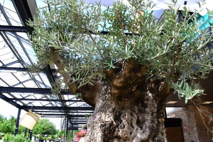 100年Olive(オリーブ)