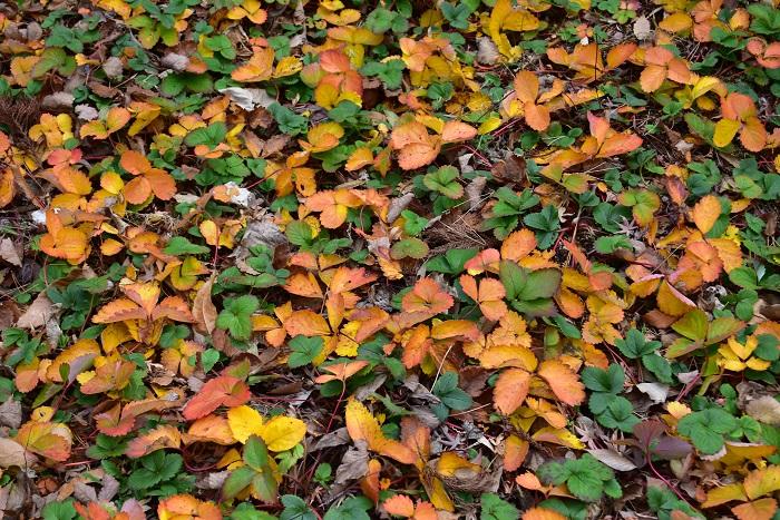 ワイルドストロベリーは常緑ですが、晩秋から冬にかけて地域によっては葉が寒さに反応して赤く色づくことがあり、とても美しい葉色になります。春が近くなり気温が緩みだすと自然に緑色の葉色になります。