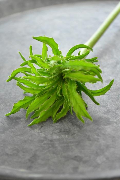 ガーベラ・ムーチョロコ  葉っぱみたいにも見えるおもしろい咲き方のガーベラです。