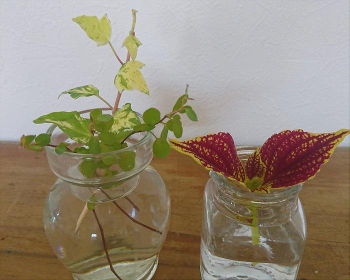 水挿しで植物を発根させる方法をご紹介します。そのまま水耕栽培で育てるのも良し、テラリウムにしても良し。ベーシックな水からの発根方法です。  水挿しとは? 挿し木の方法の1つです。切った植物の枝を水に挿して水の中で発根させます。根が出てきたら土に植えて育てることが出来ます。  植物にもよりますが、春か秋の暖かい時期に行うと、植物への負担が少なくて済みます。