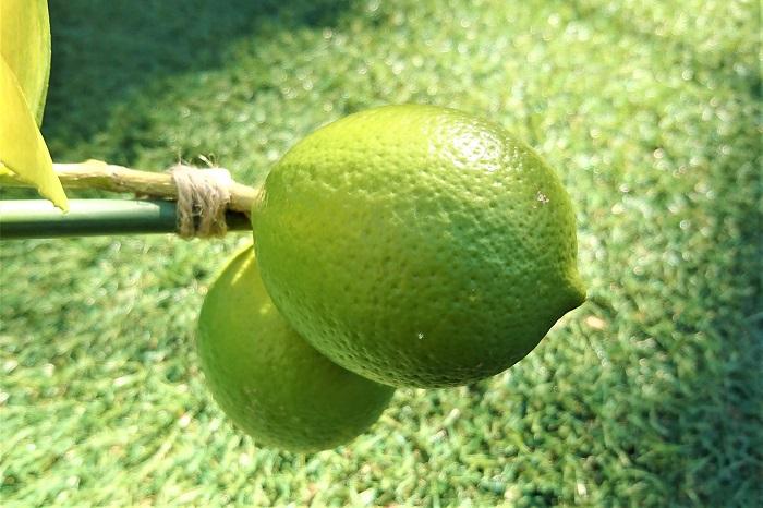 レモンの果実が順調に生長し、重みもずっしりとしてきました。今では果実の重みで、鉢が傾いてしまっています。このままでは鉢ごと倒れてしまうのは時間の問題なので、大きな安定感のある鉢に植え替えることにしました。