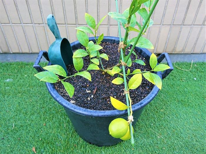 今回は果実も順調に生長し安定しているのと、果実の重みで鉢が倒れやすくなっていることから、大きな安定の良い鉢に植え替えることにしました。通常は、鉢のサイズを大きくするには、段階を経て大きくしていった方がいいでしょう。いきなり大きな鉢に植え替えてしまうと、根ばかりが生長してしまい、花も実も付かないということが起こります。
