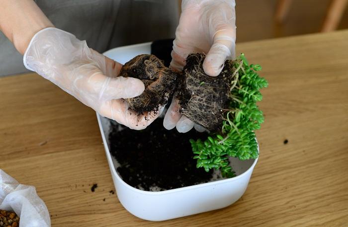 この写真は別のセダムの苗ですが、このように根がまわっている底の部分をカットして新しい土に植え付けます。  古い根を切ることでさらに勢いよく育つと言われています。  セダムは乾燥に強く、切った茎を土にまいておけば根付くほど強健な植物ですが、一方、蒸れには弱い性質があります。  梅雨~暑さが厳しい時は、根をあまりいじらない方が良い場合もあります。根をいじった後は、半日陰で少し休ませましょう。