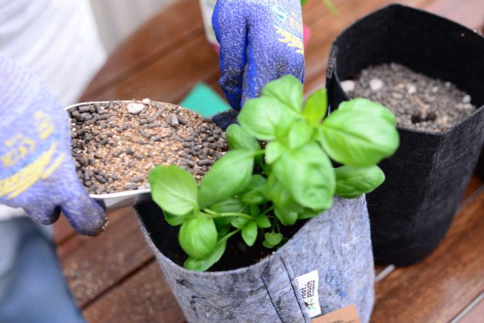 夜も暖かくなった5月以降が適期です。4月など早期に植え付けた場合は、気温が下がる夜は室内に取り込むと良いでしょう。