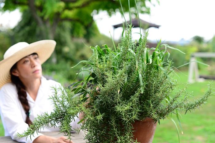 ハーブの寄せ植え  ローズマリー、チャイブ、ローリエ(月桂樹)の3種類のハーブで作った寄せ植えです。これは、肉料理に使うハーブを集めた肉料理セット。ローズマリーとローリエは、比較的日陰でも耐えられるハーブなので育てやすくておすすめです。