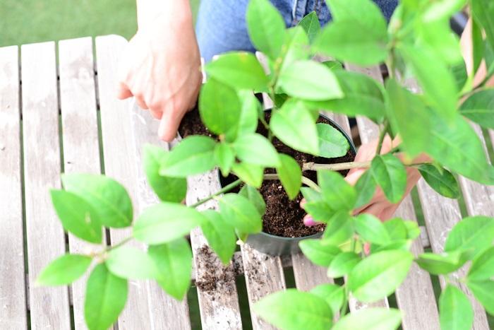 お庭にレモンを植えている友人から聞いた、レモンの木のいろんな話をご紹介します。今現在育てている方、これから育ててみようかな、と言う方の参考になりますように。