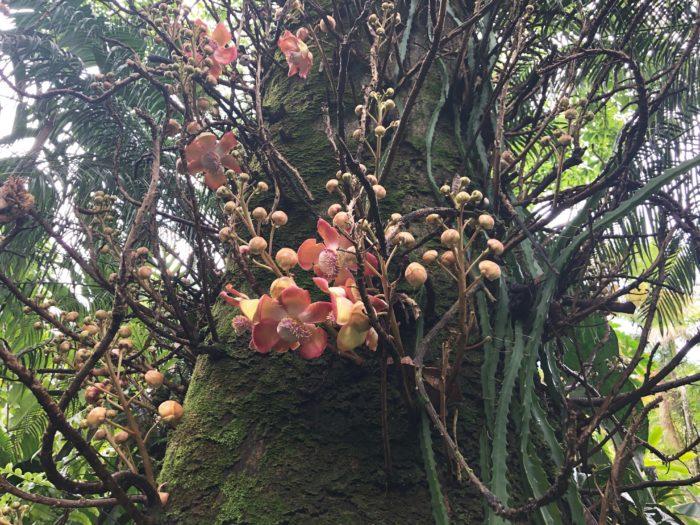 ホウガンノキ  タイやカンボジア、ベトナムなどの寺院でも本物の沙羅双樹(サラソウジュ)の代わりに植えられている「ホウガンノキ」があります。  各地に仏教が伝達されていく中で、世界各地の寺院で代りの樹木が植えらる程、仏教において沙羅の木が重要な役割を持つ事が見受けられますね。