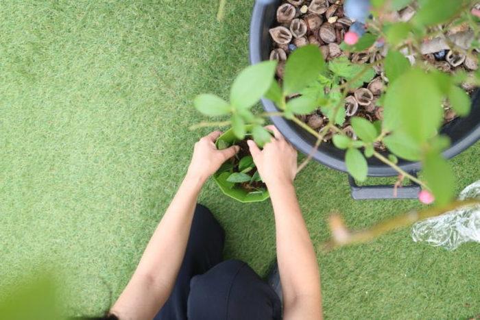 ■ 挿し木後は日陰の風通しの良い場所に置きます。  ■水やりは常に土が湿っている様に乾かさない様に水を与えます。  ■挿し木をしてから2~3ヶ月、発芽に時間がかかります。発芽したら一緒に根も出てきている証拠なので、葉の数が増えるまではそのまま様子を見ます。  ブルーベリーの挿し木の植え替え 数枚の葉が出てきて成長し始めてきたら、11月~3月の間に、1枝づつ新しい鉢に植え替えます。その際の土の割合はピートモスを全体の半分の量に対して、赤玉土(小粒)と腐葉土を半量ずつを混ぜ合わせる土を作り、元肥を加え植え替えてみて下さい。市販のブルーベリー専用の土を使用しても簡単に植え替えることが出来ます。