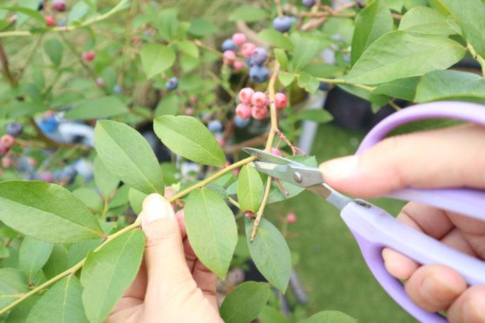 挿し木ってなに? 挿し木とは、枝を一部切り取って、根が生えていない枝から発根させて増やす方法です。観葉植物や多肉植物、種からでは育ちにくい植物や種から育てると大きくなるまで時間がかかってしまう植物に用いる事が出来ます。  ブルーベリーの挿し木の時期 ブルーベリーの挿し木は一年中出来る植物ですが、年間の中で適した季節が2度あります。  生長が速く勢いよく伸びる枝が多い、夏の剪定後の7月~8月と収穫期が終わり休眠期に入る前の剪定後の11月~12月が最適な季節です。いずれも今年伸びた若い枝を使い挿し木します。