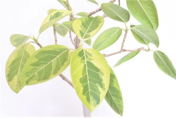 フィカス・アルテシマは別名インドゴムノキと呼ばれ、ゴムの木の仲間です。  熱帯から亜熱帯を原産とする常緑の高木で、葉は長さ10~20㎝ぐらいの大きさをしています。肉厚で艶のある葉は縁が淡いグリーンと中央が濃いグリーンのコントラストが美しい葉をしています。茎や葉を傷つけると乳白色の樹液を出し空気に触れると凝固し傷ついた場所の乾燥を防ぎ固まります。