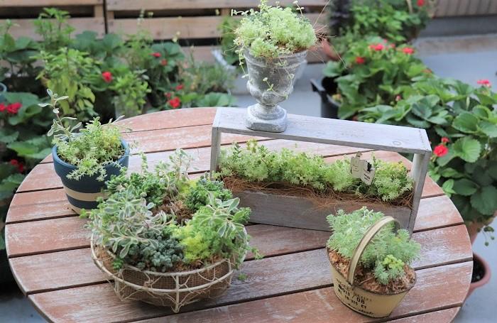 セダムには様々な種類があるので、セダムだけで寄せ植えを作ったり、リースを作ってアレンジすることができます。  繊細な葉の形や、色のグラデーションが楽しめます。乾き気味に育てるので水やりの回数も少なく、お手入れも簡単なセダムの寄せ植えは、園芸初心者の方にもおすすめです。